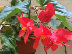 Cuidados de la Begonia Semperflores o dragon wing