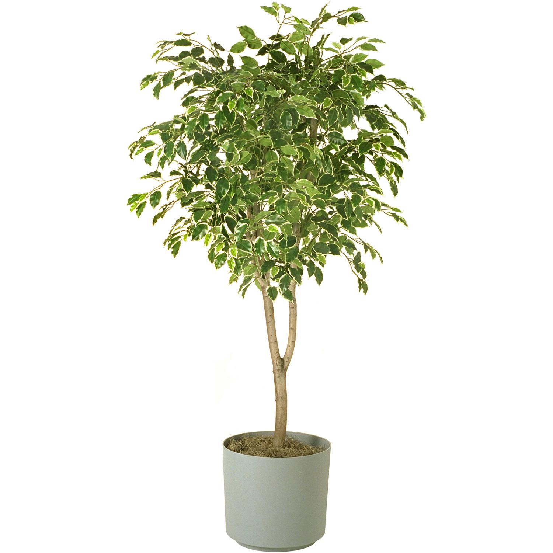 plantas altas y grande ficus