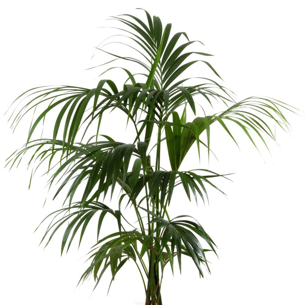Plantas grandes: La Kentia