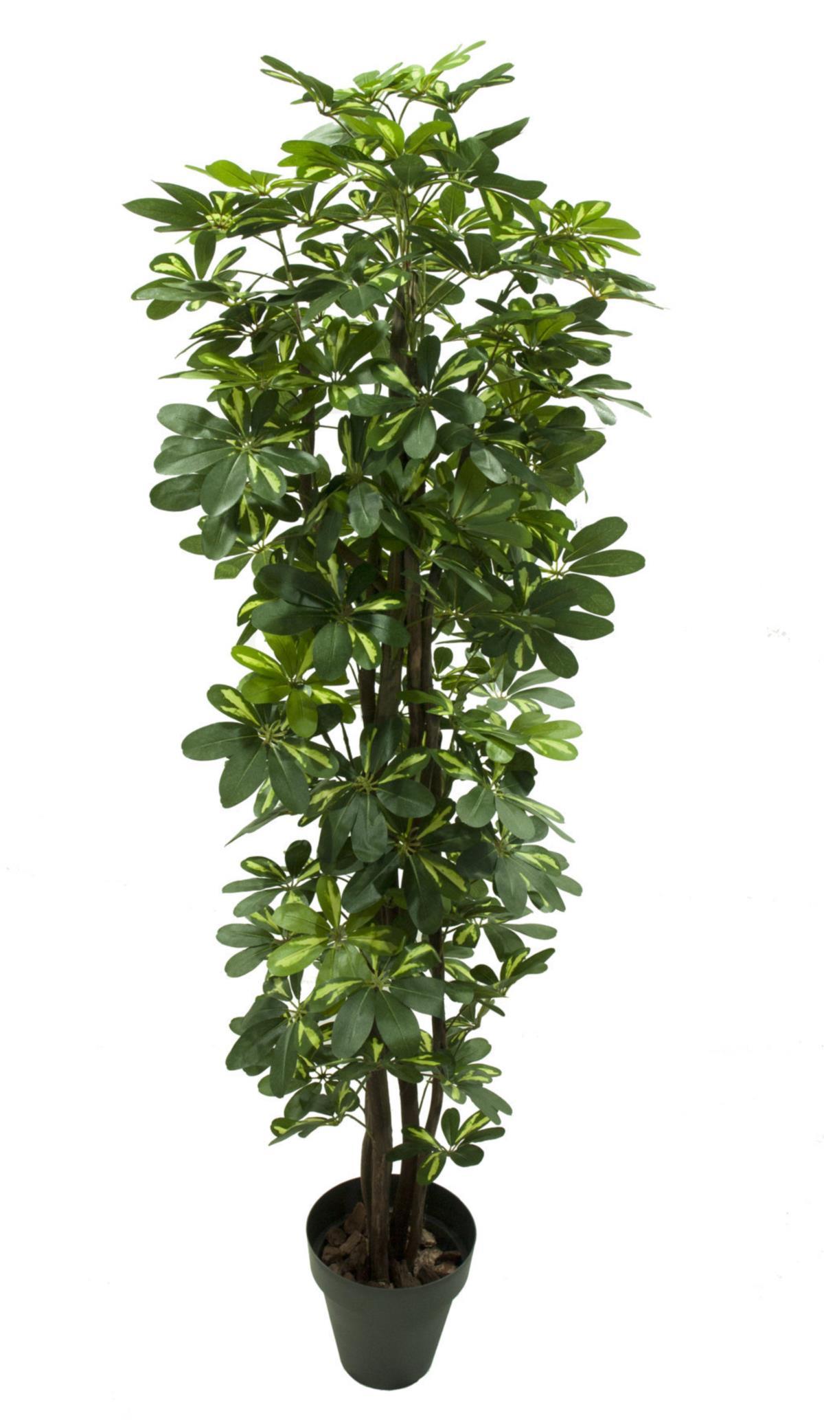 plantas altas Schefflera