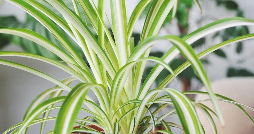 Plantas de poca luz - Las Cintas
